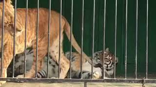 #гибрид #леопон Леопон - гибрид льва и леопарда ✅Unusual beast