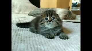 Пушистый шотландский вислоухий котенок продажа питомник Мелоди Соул