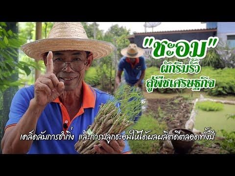 """""""ชะอม"""" ผักริมรั้วสู่พืชเศรษฐกิจ #เกษตรอารมณ์ดี"""