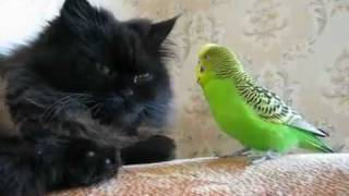 Кошка и попугай, прикол