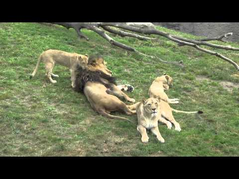 Zawadi the lion is named 'Dad of the Year'
