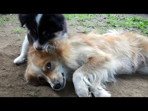 Icelandic Sheepdog puppies playing with mama