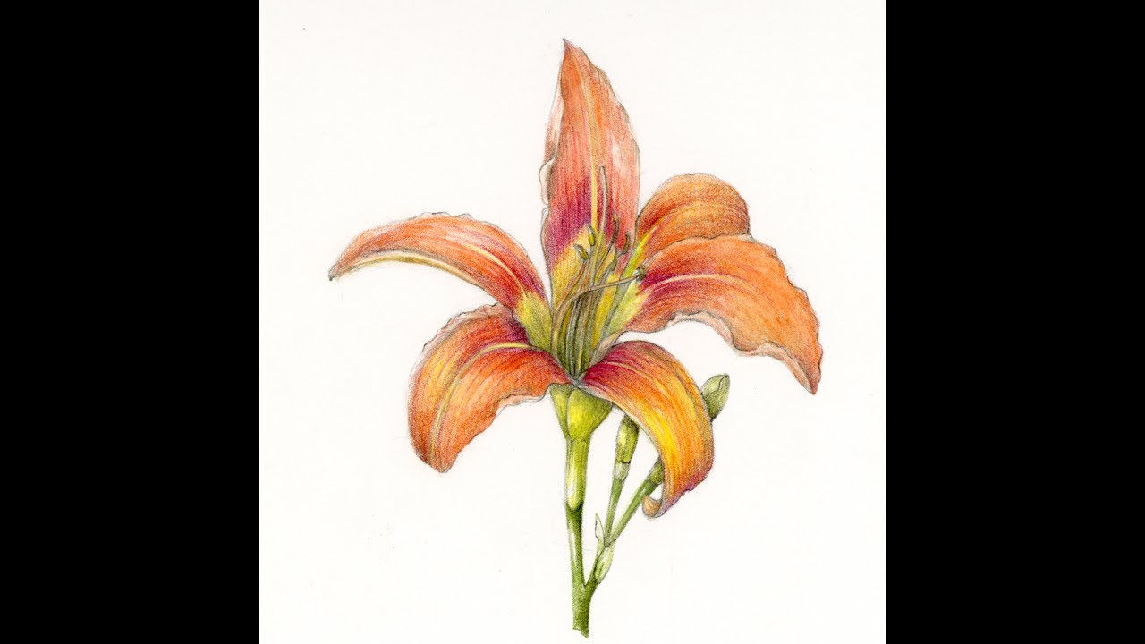 Drawing A Daylily Step By Step With Wendy Hollender