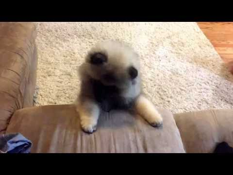 Gotham the Keeshond puppy trying to jump on couch