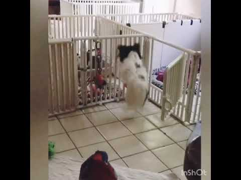 Papillon Dog Dancing with Ryhthm
