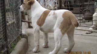 Продаются щенки 3,5 мес кобели САО от Чемпиона России.