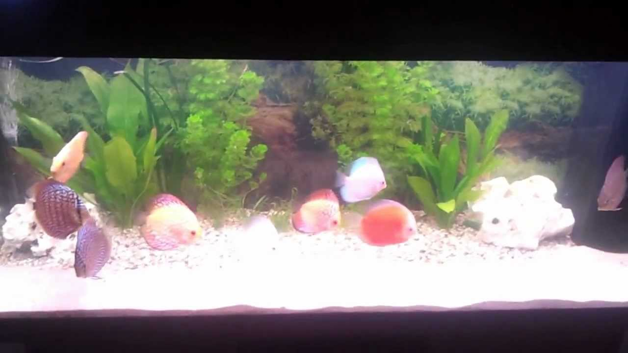 tips for looking after discus   YouTube