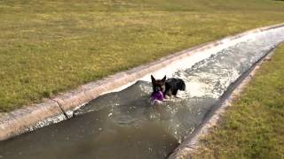 German Shepherd Fights Water Current (exercise)