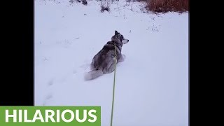 Husky decides to take nap during his walk