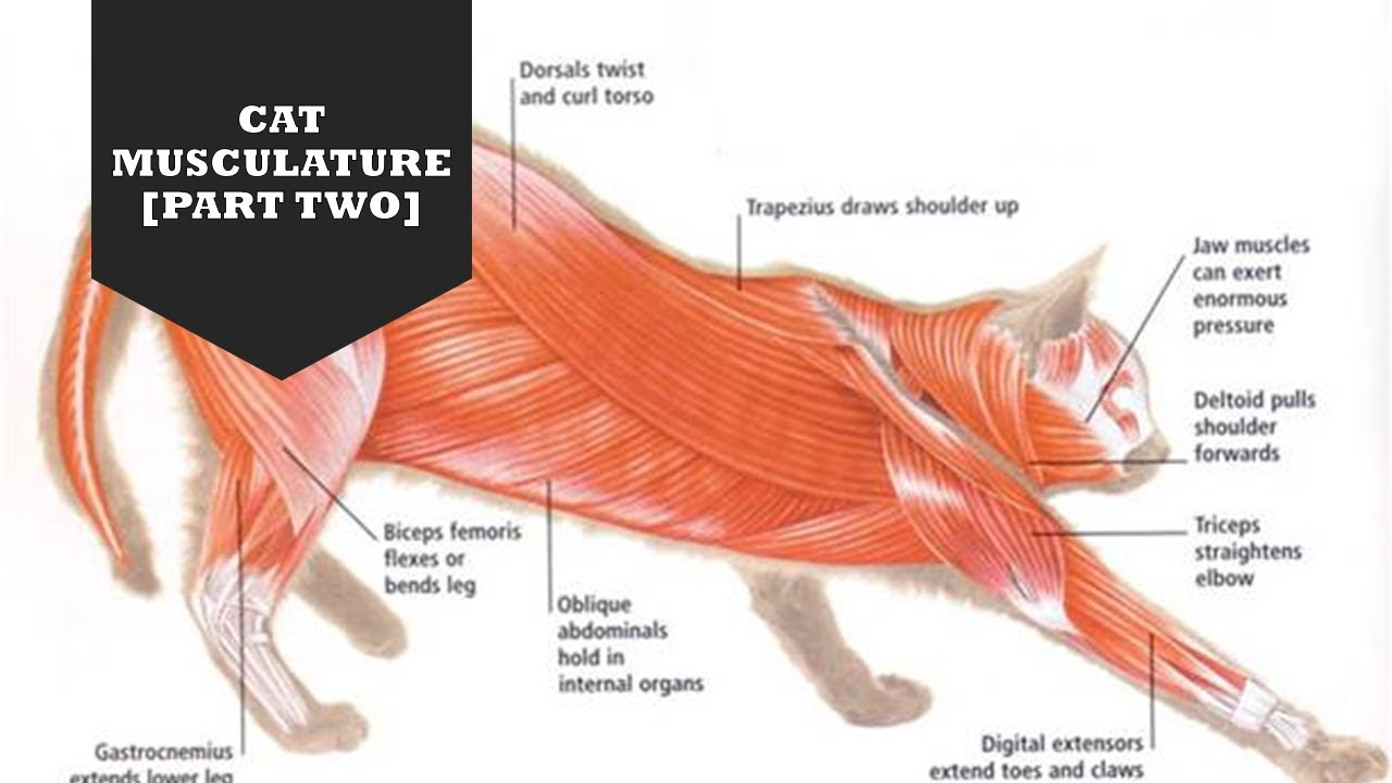CAT MUSCULATURE [PART TWO] - YouTube