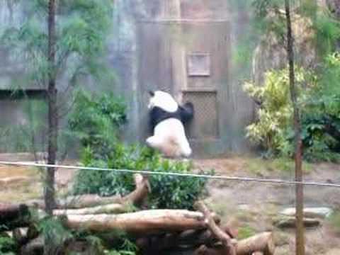 panda an an