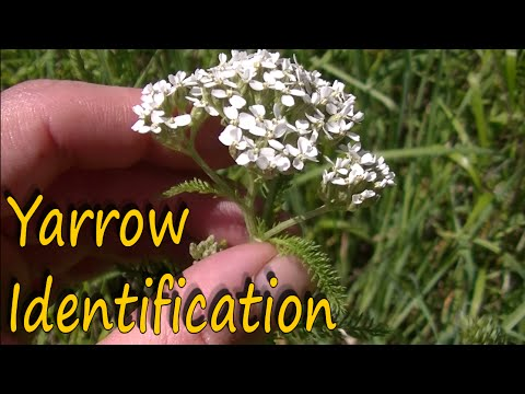 Yarrow Herb Benefits and Identification