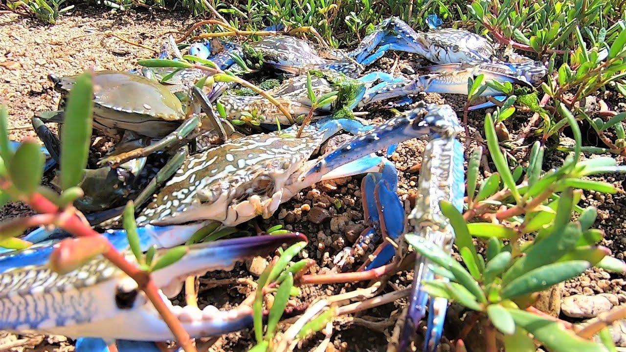 岸边水草下没人注意,阿明一翻开惊呆了,成千上百只螃蟹四处乱窜
