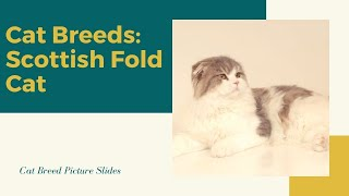 Scottish fold Slides  Cat Breeds
