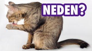 Kediler Neden Sürekli Kendilerini Yalar?