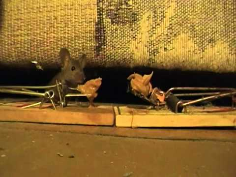 Mice Lick Mouse Trap Clean Youtube