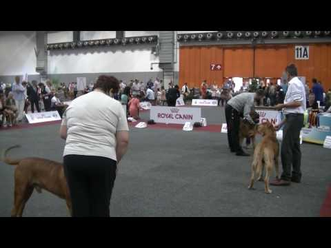 Tosa Inu in European Dog Show 2016 Brussels