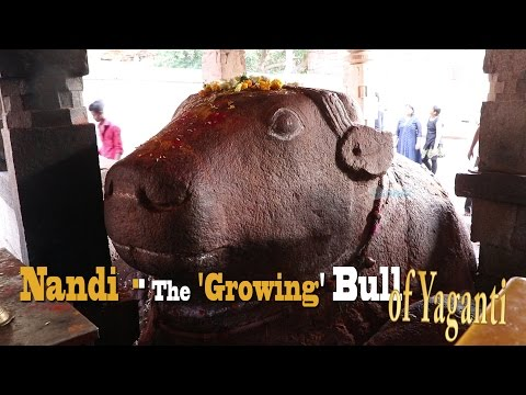 Growing  Nandi (Bull Idol) of Yaganti Temple --Andhra Pradesh, INDIA