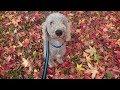 Wellington - Bedlington Terrier - 4 Weeks Residential Dog Training の動画、YouT…