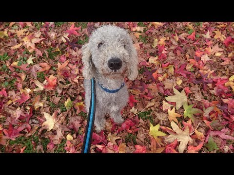 Wellington - Bedlington Terrier - 4 Weeks Residential Dog Training