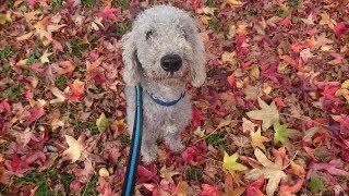 Wellington  Bedlington Terrier  4 Weeks Residential Dog Training