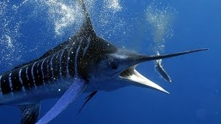 Marlin Guadeloupe