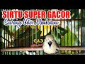 Cipoh Sirtu Super Gacor Full Nembak  Mp3 - Mp4 Download