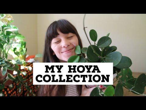 my-hoya-collection!-|-&-hoya-care-tips