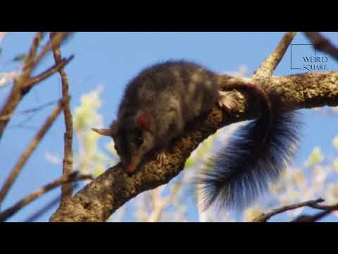 Interesting facts about Brush tailed phascogale by weird square