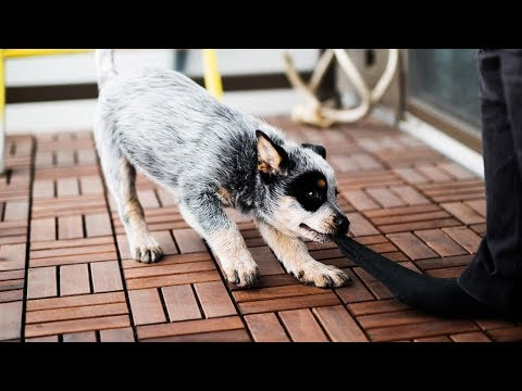 How To STOP Puppy Biting | Training an Australian Cattle Dog