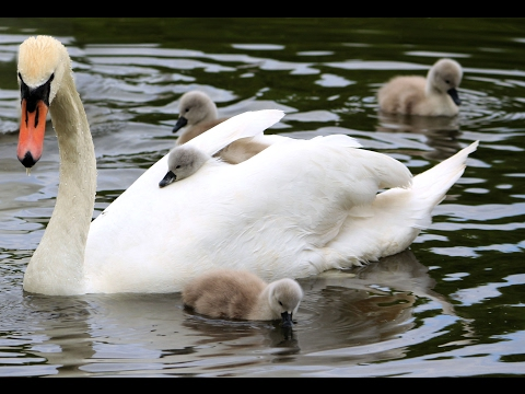 Swans nest and hatching of cygnets
