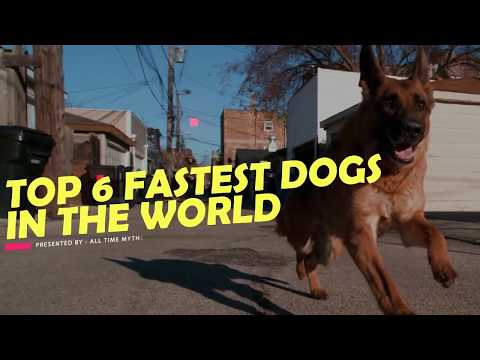 Top 6 Fastest Dog Breeds in the World