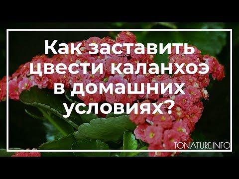 Как заставить цвести каланхоэ в домашних условиях? | toNature.Info