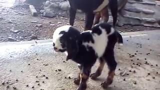山羊寶寶 - 剛出生可愛的山羊寶寶 Baby Goats - Cute Baby Goats