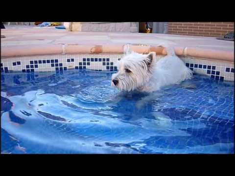 westy terrier en la piscina tm videos youtube youtube