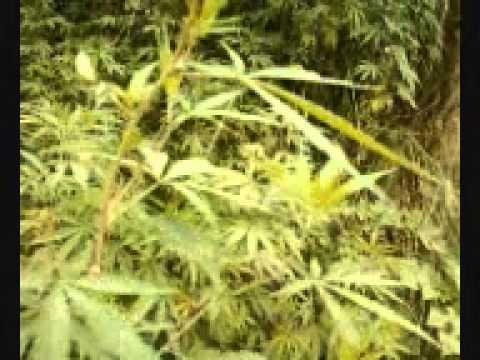 cannabis bhang marijuana growing wild on canal upper jhelum Pakistan
