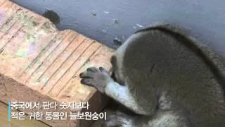 멸종 위기종 '늘보원숭이' 부산 주택가에서 발견?!