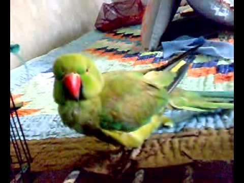 Smartest Talking Parrot sindhi parrot...