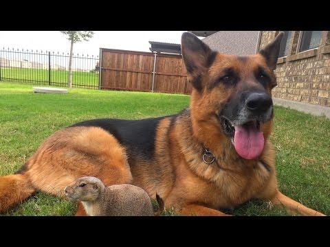 Precious Prairie Dog Befriends German Shepherd
