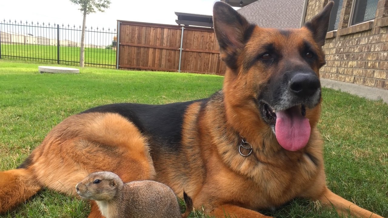 Precious Prairie Dog Befriends German Shepherd