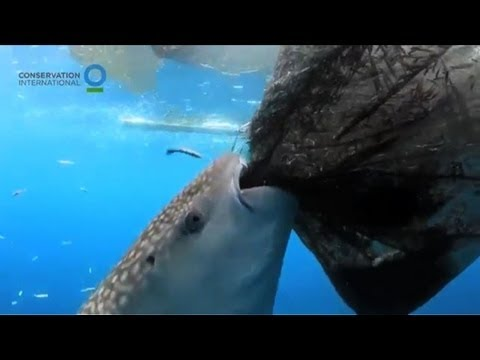 Whale Shark Sucks Fish From Net Off Indonesia