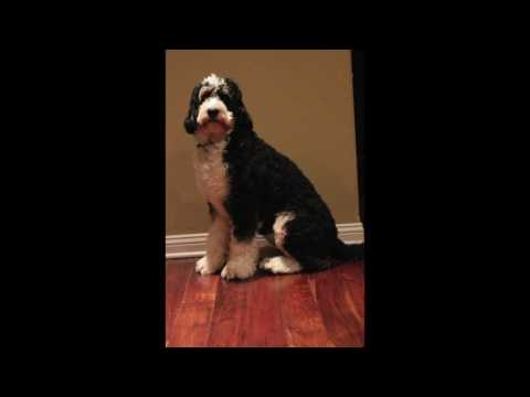 Bernedoodle growth and time-lapse video!