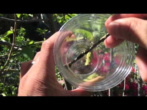 How To Hand Pollinates Cherimoya