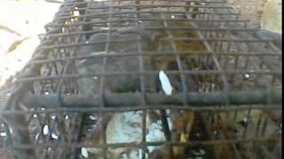 a male squirrel in rat trap and eating rice his girlfriend is crying loudly so after eating the rice iam open the trap and give freedom to him he is happy and iam also happy