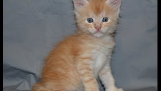 Купить котёнка мейн кун. кот Зевс. Мейн кун Саратов +7 917 315 43 30