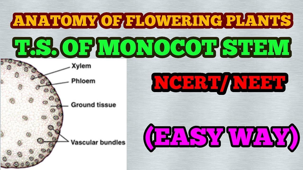 Ts Of Monocot Stem Plant Anatomy Easy Way Youtube