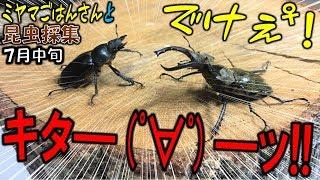 【カブトムシ+クワガタ=昆虫採集】今期初のミヤマクワガタつかまえた...