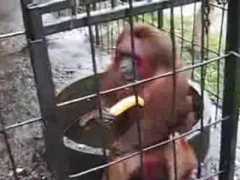 crazy monkey eating bananas