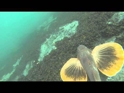 Spearfishing Moriches:  Fluke Slam Summer 2013