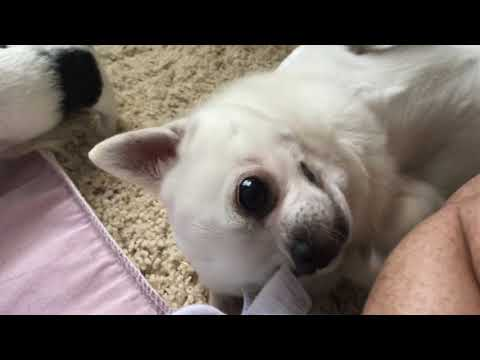 Baby chihuahuas - just adorableness!